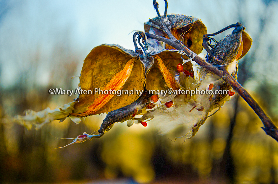 Milkweed Pod Photo Photo Of Golden Milkweed Pod Blowing