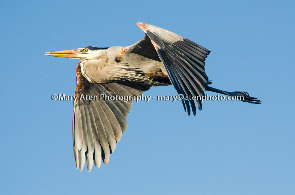 Blue Heron In Flight Mary Aten Photography