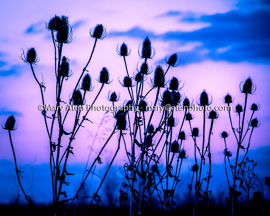 Thistle Photo Thistles Silhouetted Against Purple And