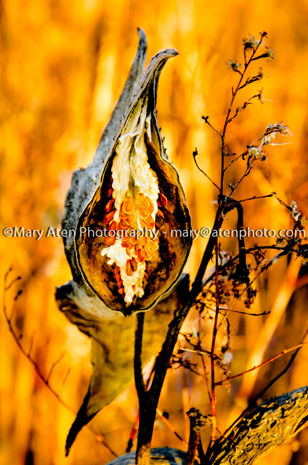 Milkweed Pod Photo With Seed And Fluff In Tact In Golden